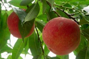 金子農園の桃「なつっこ」新潟県加茂市から朝採りをお取り寄せ・通販